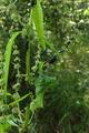 Hoher Vogelsberg Talauen Nidder Hillersbach NR Basaltweg Hillersbach Ants cultivating aphids.png