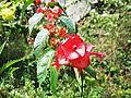 Holmskioldia sanguinea-yercaud-salem-India.JPG