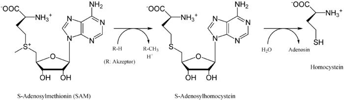Synthese von Homocystein ausgehend von SAM