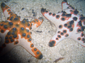 Horned Sea Star (30 cm).png