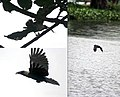 House crow- fishing a way of life I.jpg