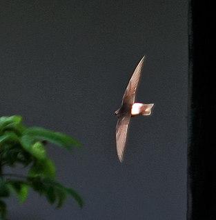 Little swift Species of bird