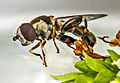 Hoverfly on a Marjoram flower (20474222029).jpg