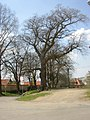 Hrusice CZ protected Tilia cordata besides rectory 175.jpg