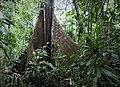 Huge Buttress roots (28115225997).jpg