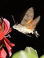 Hummingbird Hawk-moth - Taubenschwänzchen (7563822402).jpg