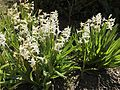 Hyacinth flowering in spring.jpg