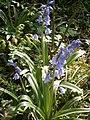 Hyacinthoides hispanica RHu 001.JPG