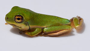 American green tree frog - Metamorph