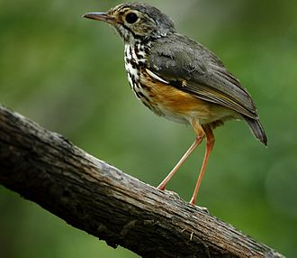White-browed antpitta - White-browed antpitta at Araripe, state of Ceará, Brazil.
