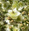 Hymenoclea salsola flowers.jpg