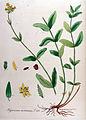 Hypericum montanum — Flora Batava — Volume v10.jpg