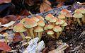 Hypholoma fasciculare, Sulphur Tuft,UK.jpg