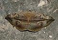 Hypopyra vespertilio by Dr. Raju Kasambe DSCN0468 (14).jpg