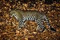 IG KusumoKintokoEko WA 082140100111 foto macan tutul jawa lokasi TN Baluran, Situbondo, Indonesia.jpg