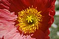 Iceland Poppy Papaver nudicaule 'Champagne Bubbles' Pink Center.jpg