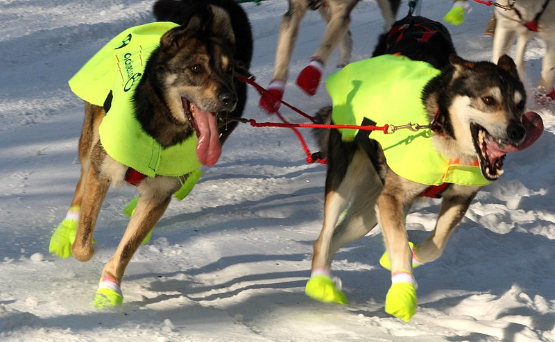 File:Iditarod dogs in style.jpg