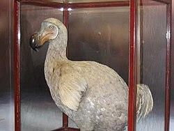 Een reconstructie van de dodo.