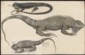 Iguana nudicollis - 1700-1880 - Print - Iconographia Zoologica - Special Collections University of Amsterdam - UBA01 IZ12800061.tif