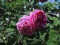 Ile aux Roses 012.jpg