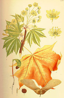 Illustration Acer platanoides1.jpg