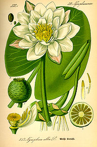 Illustration Nymphaea alba0.jpg