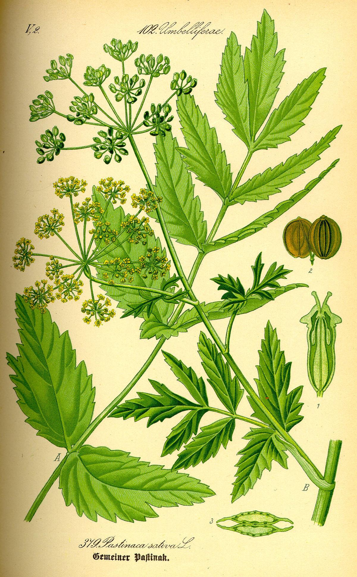 Ehető vadnövények – Erdei pasztinák (Pastinaca sativa sylvestris) – zellerféle