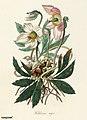 Illustration from Medical Botany, digitally enhanced from rawpixel's own original plates 12.jpg