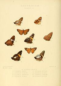 Illustrations of new species of exotic butterflies Eudamus III.jpg