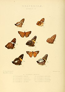 Illustrations of new species of exotic butterflies Eudamus III.jpg