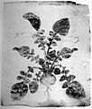 Ilustration of a Medicinal Plant Wellcome L0000782.jpg