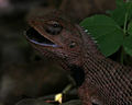 Indian Garden Lizard (Calotes versicolor) with a catch W2 IMG 0158.jpg