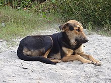 Indian Street Dog Dehradun.jpg