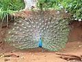 Indian blue peacock03.JPG