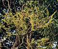 Indian gooseberry (Phyllanthus emblica syn Emblica officinalis) new leaves at Jayanti, Duars, West Bengal W Picture 039.jpg