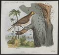 Indicator major - 1833-1839 - Print - Iconographia Zoologica - Special Collections University of Amsterdam - UBA01 IZ18800293.tif