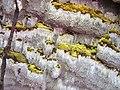 Inonotus glomeratus (Peck) Murrill 177148.jpg