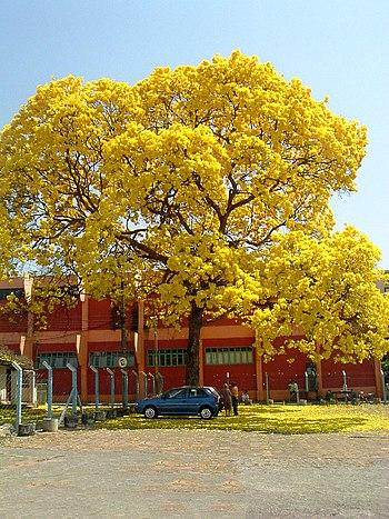 Picture of a Ipê amarelo (Tabebuia) in Goiânia...