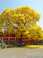 Ipê amarelo Tabebuia Goiânia.jpg