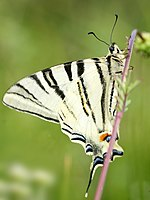 Scarce Swallowtail close to Nismes