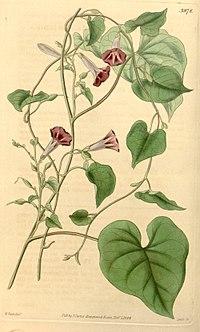 Ipomoea aristolochiifolia (Ipomoea tweediei) Bot. Mag. 69. 3978. 1842