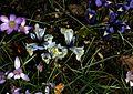 Iris Katherine Hodgkin type B - Flickr - peganum (1).jpg