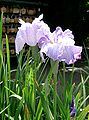 Iris ensata cv mochizukinoakebono.jpg