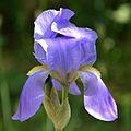 Iris pallida specie.jpg