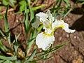 Iris sanguinea-IMG 0497.jpg