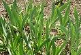 Iris x germanica var 1zz.jpg