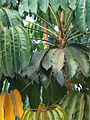Ivy palm (367858249).jpg