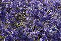 Jacaranda mimosifolia from anaimalai hills JEG6066 a.jpg