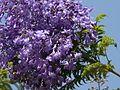 Jacaranda obtusifolia ssp. rhombifolia (2465331388).jpg