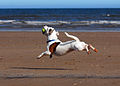 Jack Russell Terrier catching a ball.JPG